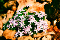 Phlox in the Grand Canyon